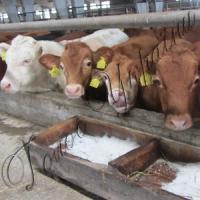 Мясо-молочное направление сделали перспективным