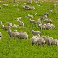 Повернення до «овечого раю»