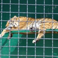 Леви й тигри емігрують із Криму?