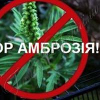 Активісти пропонують по гривні за кіло амброзії