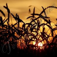 Посіви не витримують спеки…