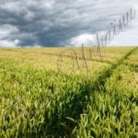 Арештований урожай віддадуть державі