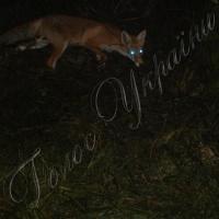 У міському парку прижилася родина… лисиць