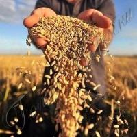 Збір ранніх зернових на Черкащині завершено