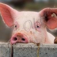 Страшный недуг свиней пришел и на Волынь