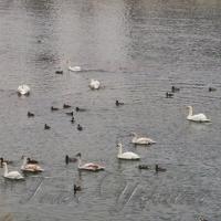 На Ужі поселилися лебеді