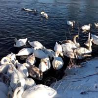 У Чернівецькій області масово гинуть лебеді, котрі залишилися на зимівлю