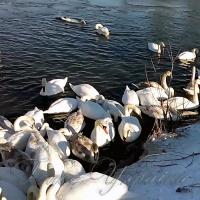 Чорторийським лебедям загрожує мор