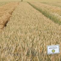 Конструктор пшеничного колоса
