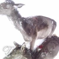 У Карпатах розстріляли стадо оленів