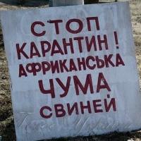 АЧС дісталася до свійських свиней Івано-Франківщини…