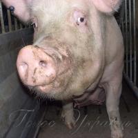 Свині пішли вгору – ковбасники у смутку