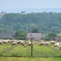 Баварські вівці прижилися в Залужанах