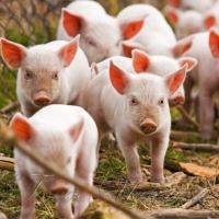 Нарощують обсяги виробництва м'яса