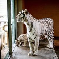 Через новонароджених білих тигренят доведеться переписувати енциклопедії