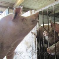 На Луганщині успішно розводять породистих свиней