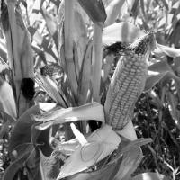 «Кукурудзяні» втрати зменшують прибутки