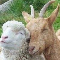 Вівці, кози і кури — тільки у населення