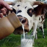 Власники корів не поспішають здавати молоко на переробку Адже це може позначитися при нарахуванні їм субсидії