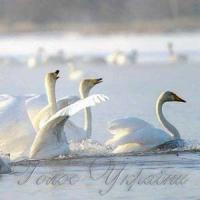 Екологи рятують лебедів
