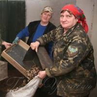 Лісівники заготовили шишки