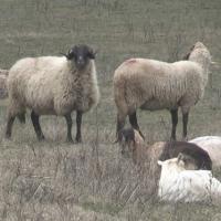 Міністерство воює з вівчаром