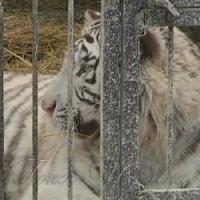 У реабілітаційному центрі оселився тигр