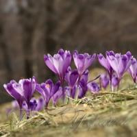 ...сповзає сніг — активізуються квіткові браконьєри