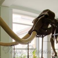 З-поміж експонатів найунікальніший — скелет мамонта