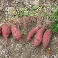 Міняємо картоплю на батат?