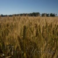 У засіках - майже два мільйони тонн зерна