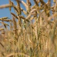 Три мільйони тонн зерна - уже в засіках