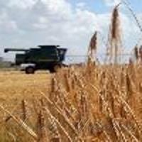Зібрали понад половину ранніх зернових