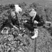 На збирання солодких ягід доведеться запрошувати ромів та афганців?