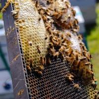 Україна нині посідає перше місце в Європі і п'яте у світі за обсягом виробництва меду