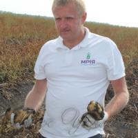 На полях агрохолдингу «Мрія» триває збирання картоплі