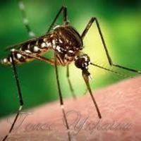 Комариний укус  аж ніяк не небезпечний.  Особливо в Сербії,  Греції та Італії