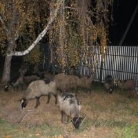 Багатостраждальні вівці: мертвих відділили від живих