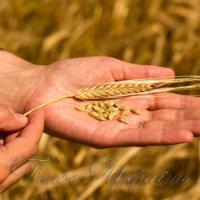 На душу населення - понад тонна зерна