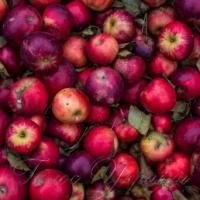 Гнила тема: цьогоріч у садах пропадають тисячі тонн яблук