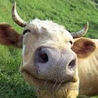 Чи вдасться розвеселити корів у Швейцарії?