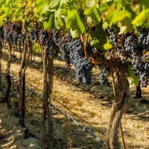 Полічили виноградні плантації