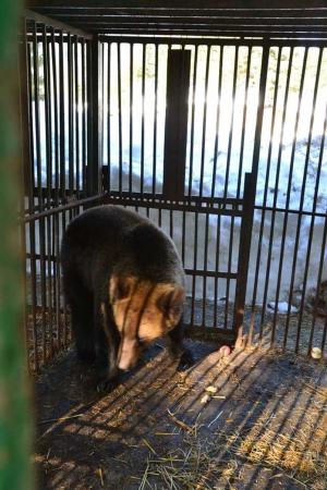 Ведмеді-переселенці з Донеччини нарешті оздоровляться в Карпатах