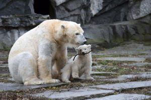 У берлінському зоопарку знову народилося біле ведмежа