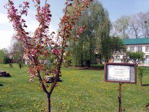 В Острозькій академії розцвіли сакури
