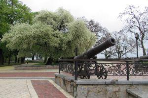 У Чернігові зацвіла сторічна вишня-антипка