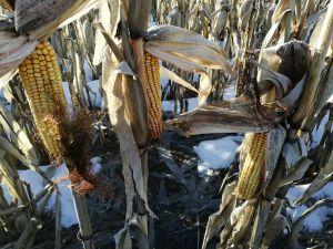 Наша кукурудза прижилася у Євросоюзі