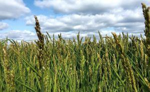 Риса и сои в Херсонской области соберем меньше