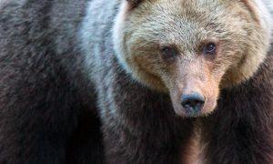 Зберегти бурого ведмедя і привабливість Карпат