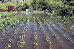 У Сумській області вдруге садять картоплю